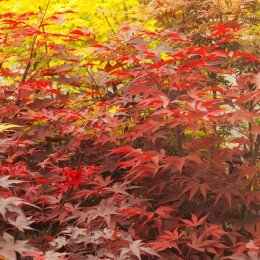"""érable """"Fireglow"""", feuillage rouge vif au printemps"""