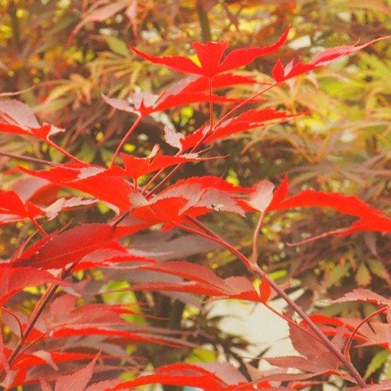 """érable """"Fireglow"""", feuilles en été"""