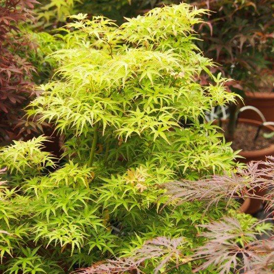 """érable """"Kamagata"""", feuilles en été"""