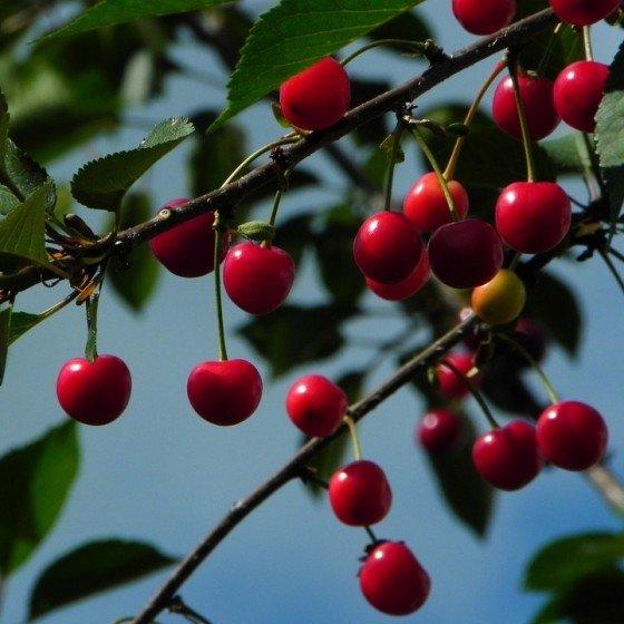 """Cerisier """"Griotte de..."""