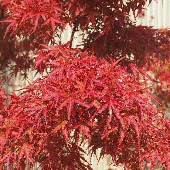 """Érable du Japon """"Kamagata"""", feuillage d'automne"""