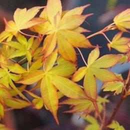 """érable """"Katsura"""", feuilles au printemps"""