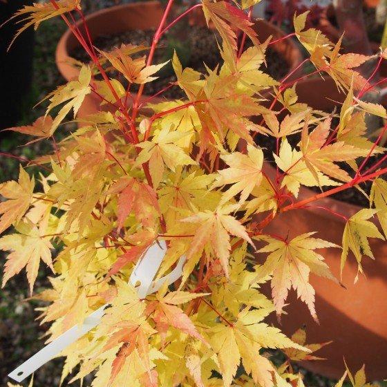 """Érable du japon """"Red Wood"""", feuillage d'automne"""