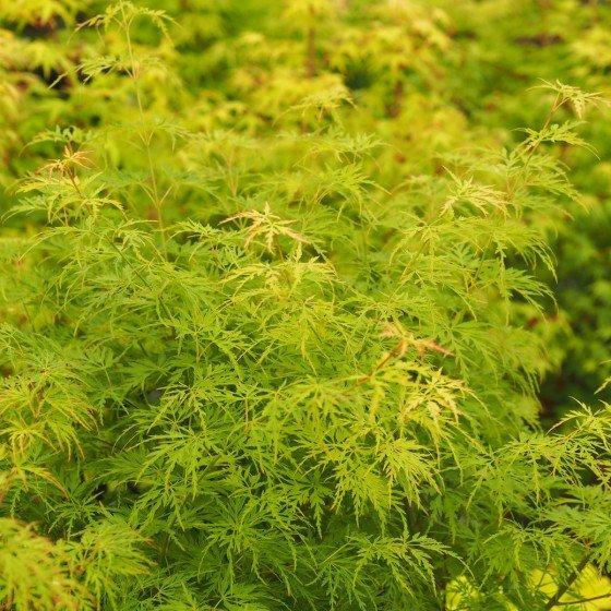 """érable """"Seiryu"""", feuillage vert vif"""