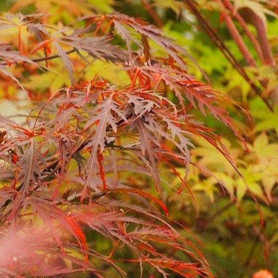 """érable """"Garnet"""", feuilles grenat très decoupées"""