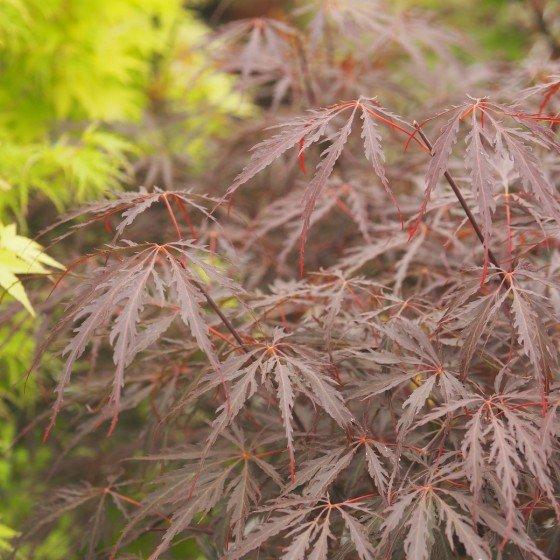 """érable """"Tamuke Yama"""", feuilles très laciniées"""