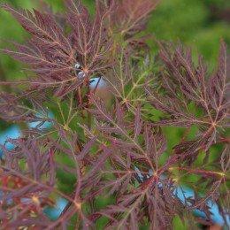 """érable """"Inaba Shidare"""", feuilles découpées, couleur en été"""