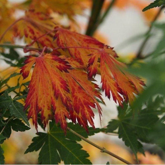 """érable """"Aconitifolium"""", couleurs d'automne"""