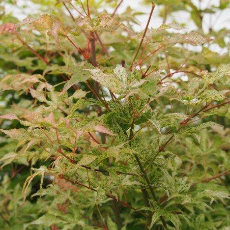 """érable """"Ukigumo"""", feuilles quasiment blanches au printemps"""